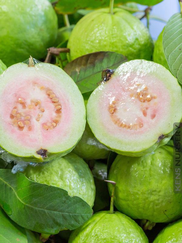 white guava.jpg