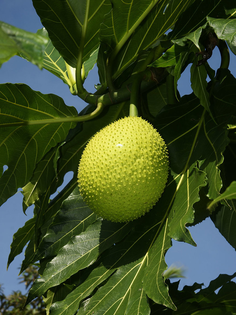 breadfruit.jpg