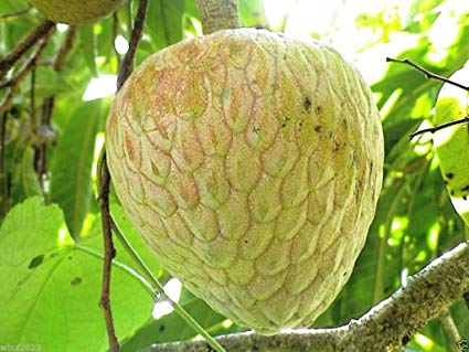 custard apple.jpg