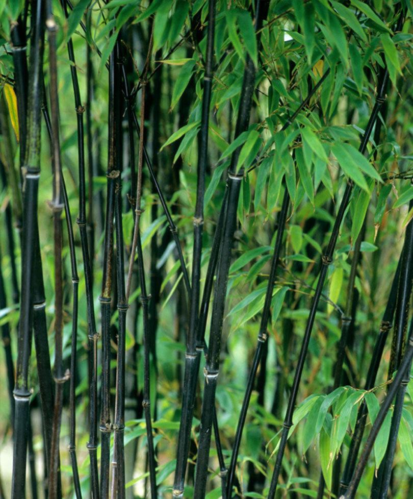 black bamboo.jpg