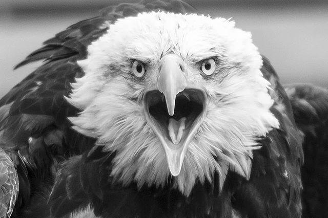 Looking back through my photos from the summer and found this angry guy. . . . . . . #explorealberta #imagesofcanada #birdsofinstagram #birdsofprey#raptors #yycphotographer #alberta #wildlifephotography #natgeowildlife #natgeo #baldeagle #naturephotography #naturelovers #nikonphotography #nikon #birds #bird_lovers_daily #actionshot