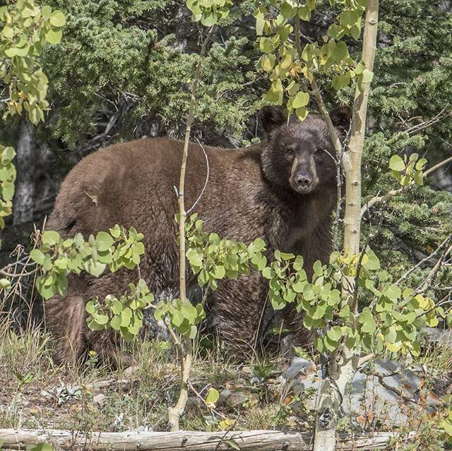 Cool to see this guy out in kananaskis this morning. . . . . . . . . . #explorealberta #imagesofcanada #justcanadathings #alberta #nikonphotography #albertawildlife #wildlifeplanet #wildlifelovers #wildlifephotography #kananaskiscountry #kananaskis #yyc #dailyviewalberta #earthfocus #bears #justgoshoot #gameoftones #natgeo #natgeohub #grizzlybear #brownbear #calgary #braggcreek