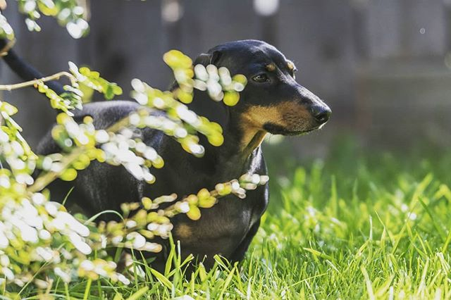 There's a Weiner lurking in the bushes. . . . . . . . #dachshund #dachshundsofinstagram #sausagedog #dog #dogsofinstagram #doxie #dogs #wienerdog #instadog #dachshundlove #teckel #puppy #dackel #dachshundpuppy #dachshundoftheday #dogstagram #dachshunds #m #sausagedogcentral #doxiesofinstagram #doxielove #puppylove #weinerdog #instagram #pets #puppiesofinstagram #love #wiener #miniaturedachshund
