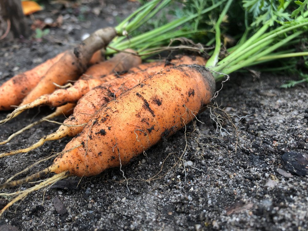 Uprooted carrots. Photo by Ronny Kind courtesy of Unsplash.