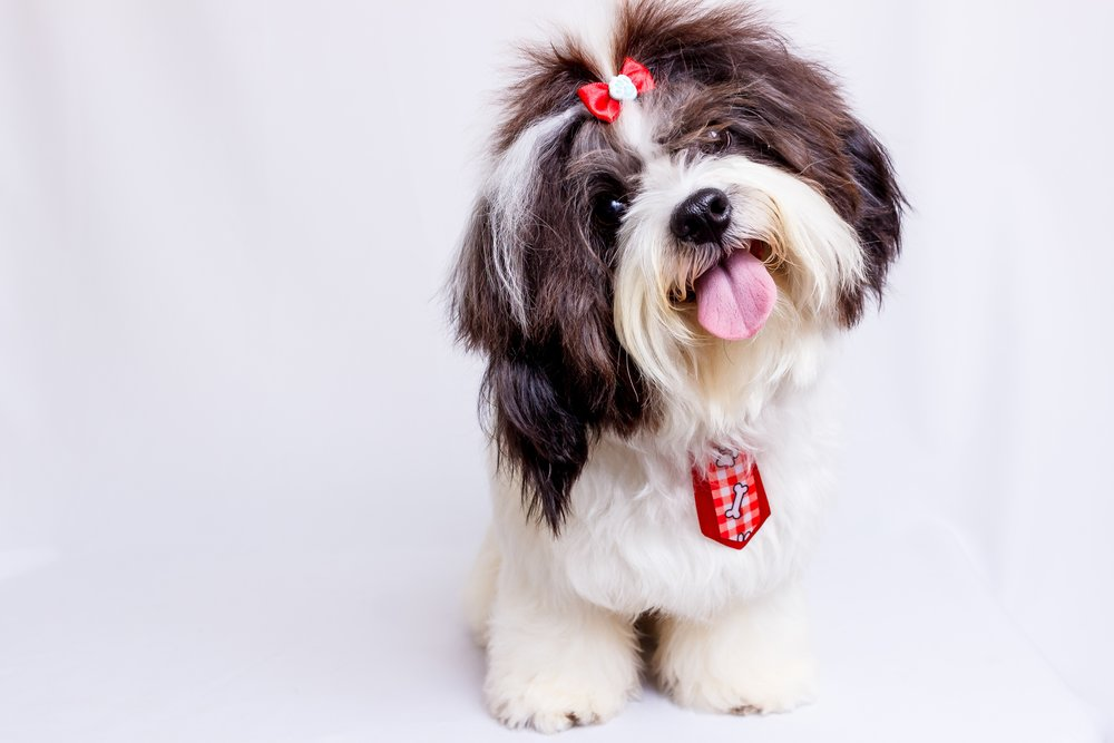 Not an actual image of Lavonia, the Shih Tzu. Photo by Edson Torres courtesy of Unsplash.