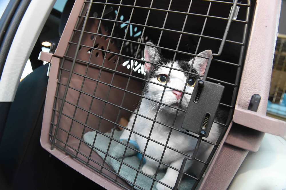 One of nine cats rescued from the Animal Pantry Friday.  Eagle  photos by Todd Maisel.