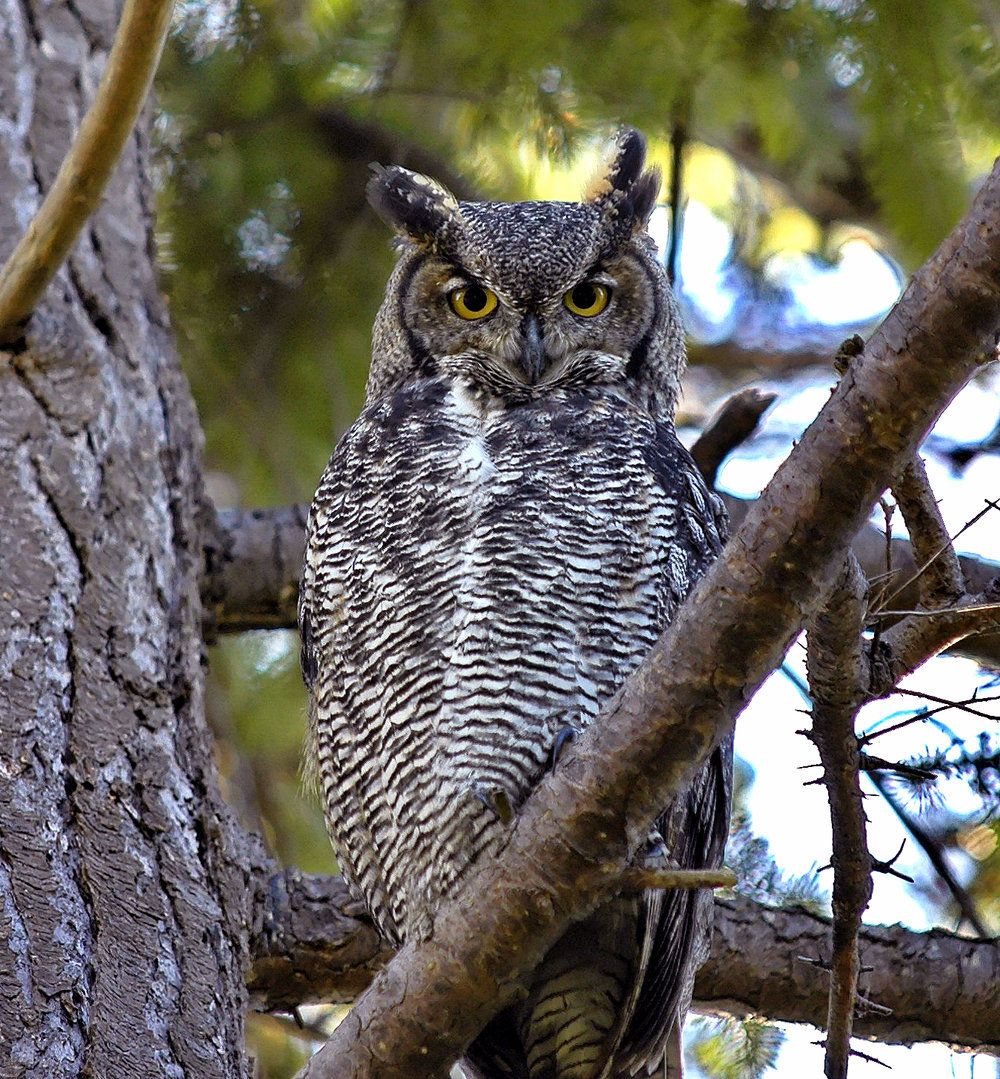 In the winter, birdwatchers can spot great horned owls in Jamaica Bay Wildlife Refuge. Photo by Brendan Lally.