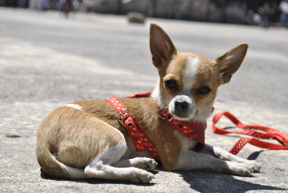 Long Island Resident Luis Jimenez allegedly beat and blinded a chihuahua after fighting another man. Photo by Gabriela Vega.