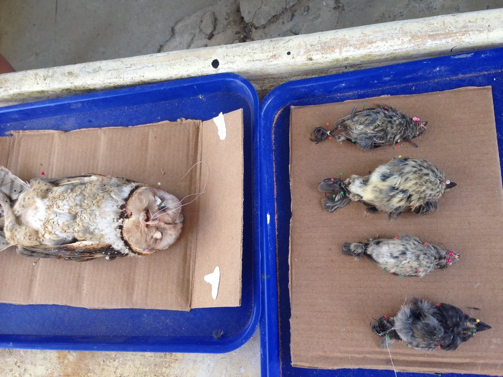 Birds that were hit by cars in the Galápagos are often salvaged and donated to the Charles Darwin Research Station and can be used to practice specimen preparation.