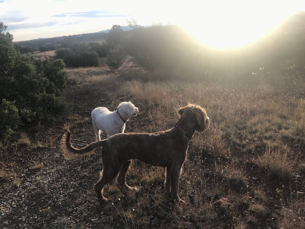 Pups out on a walk at sunset.