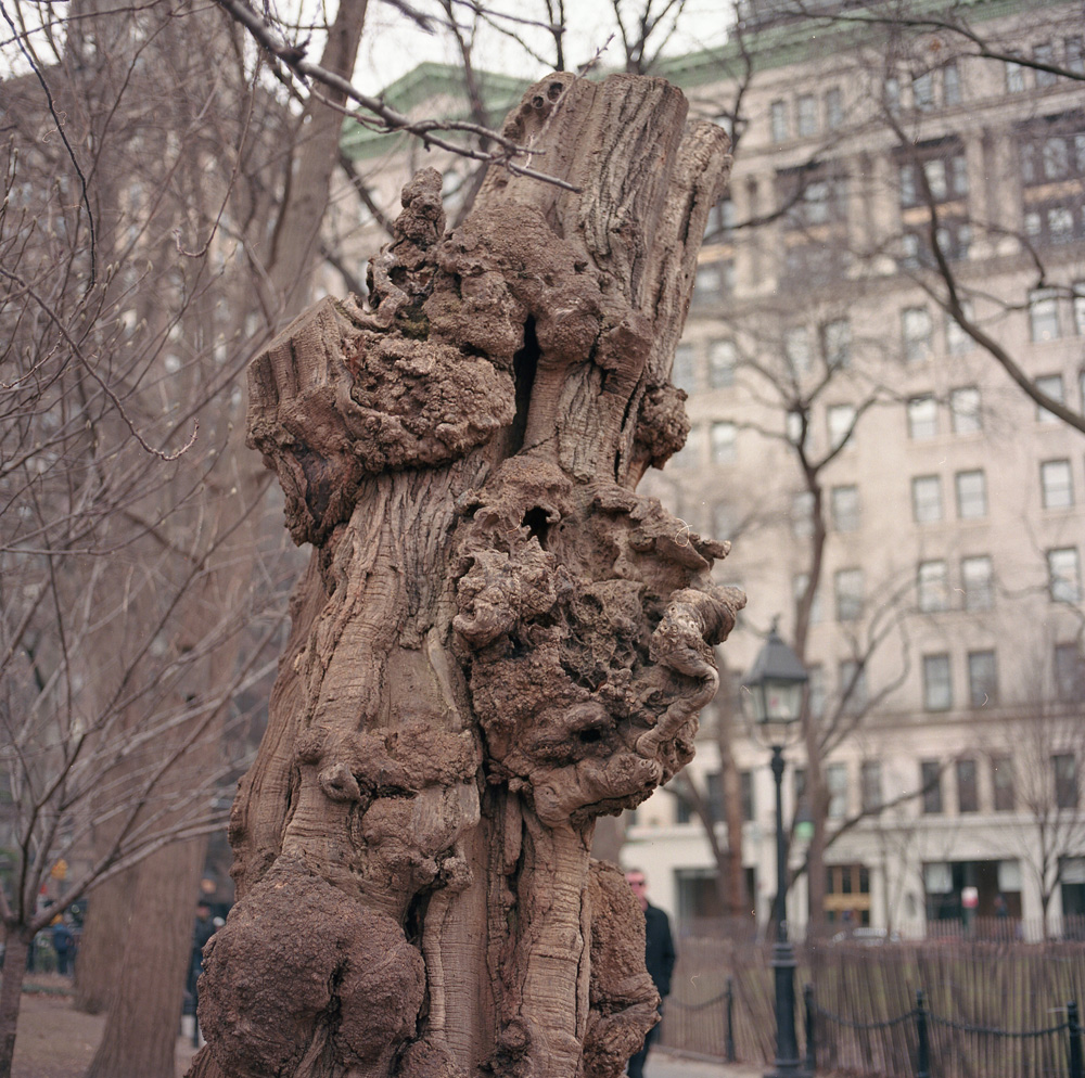 Gnarled Remains, Washington Square Park