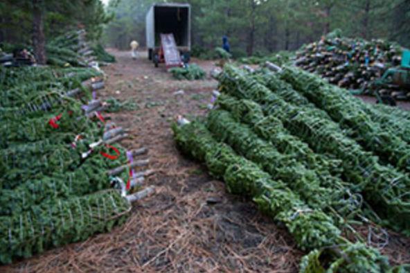 WholesaleTrees.png