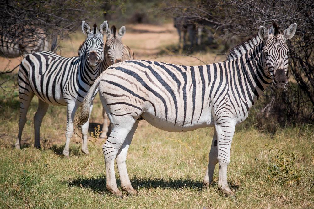 Mountain Zebra, Botswana