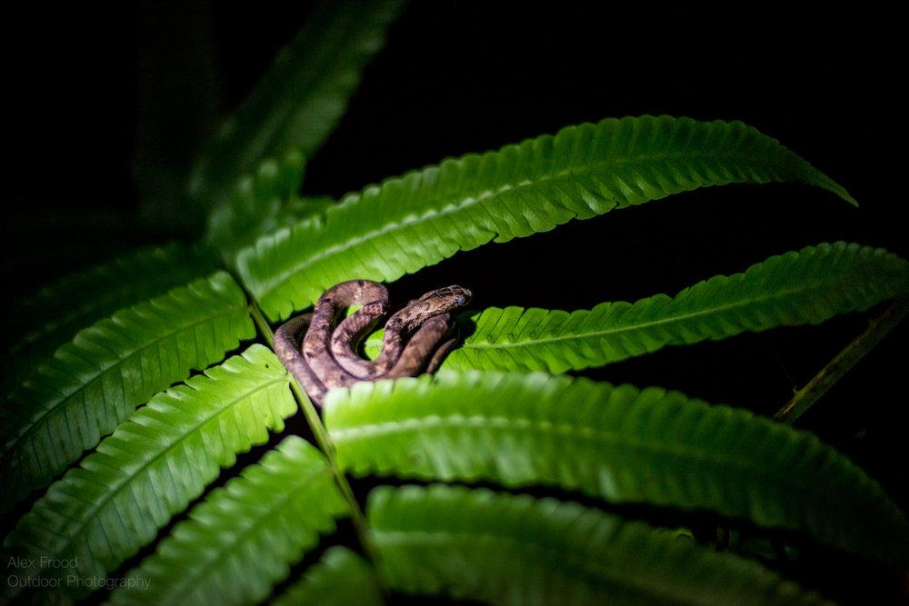 Brown Viper, Sabah, Malaysian Borneo