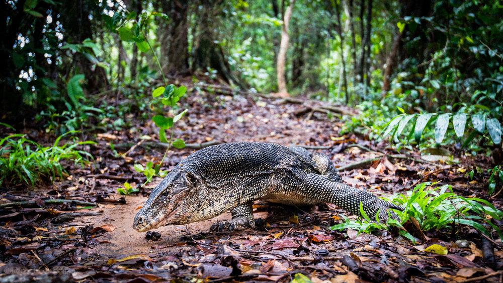 Asian water monitor lizard, Sabah, Malaysian Borneo