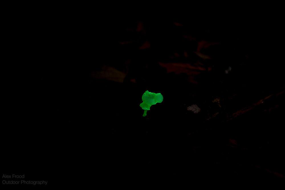 Bioluminescence Mushroom, Sabah, Malaysian Borneo