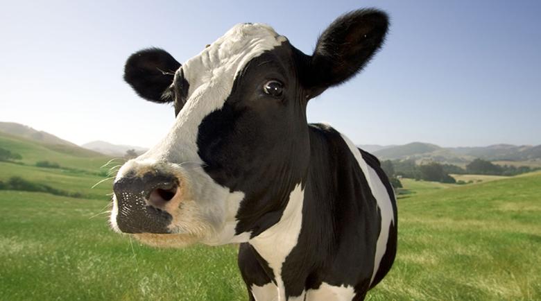 Happy-Cow-800x600.jpg