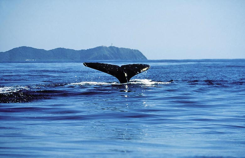 sweet-whale-breaching-cape-byron-bay