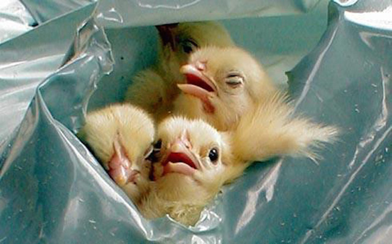 Male chicks fighting to live