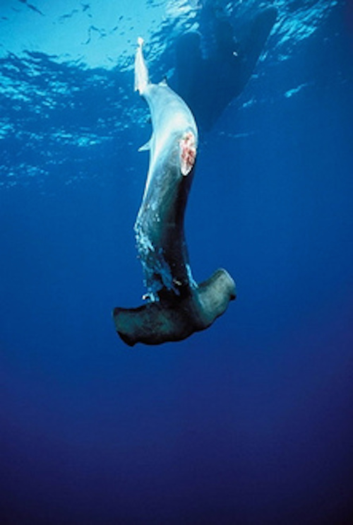 finned-hammerhead finned and tossed