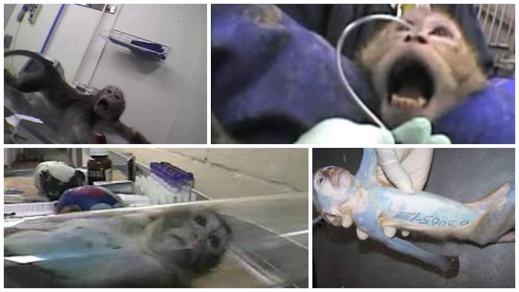 primate testing