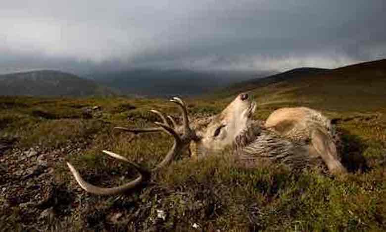 Red-deer-stag-shooting-at-006.jpg