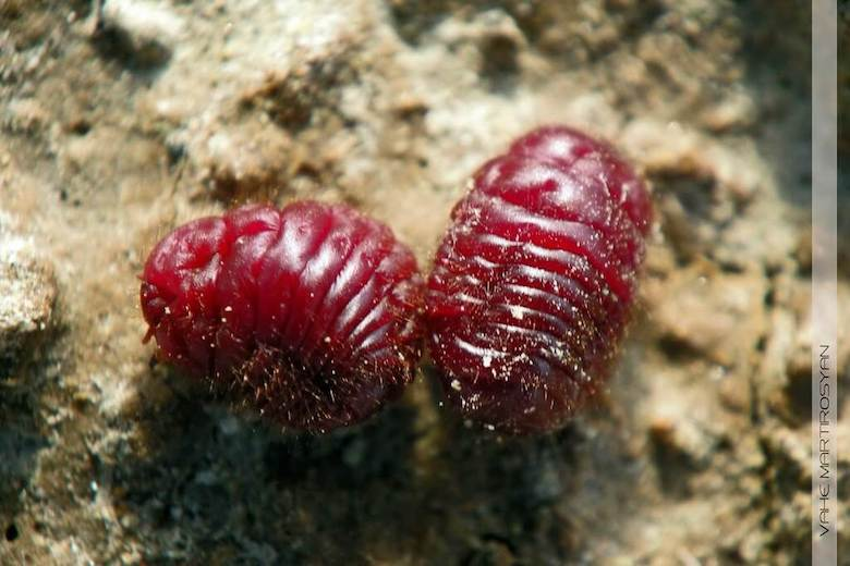 beetles-bugs-carmine-makeup