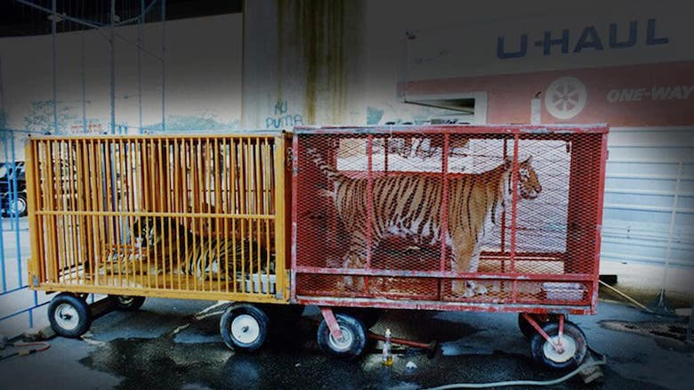 tigers being moved for the circus
