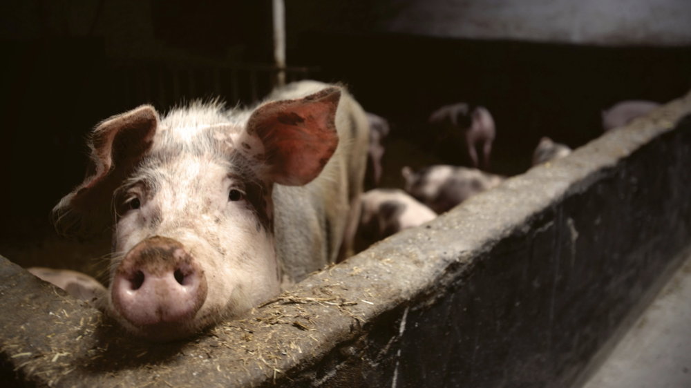 pigs dying from African swine flu in China