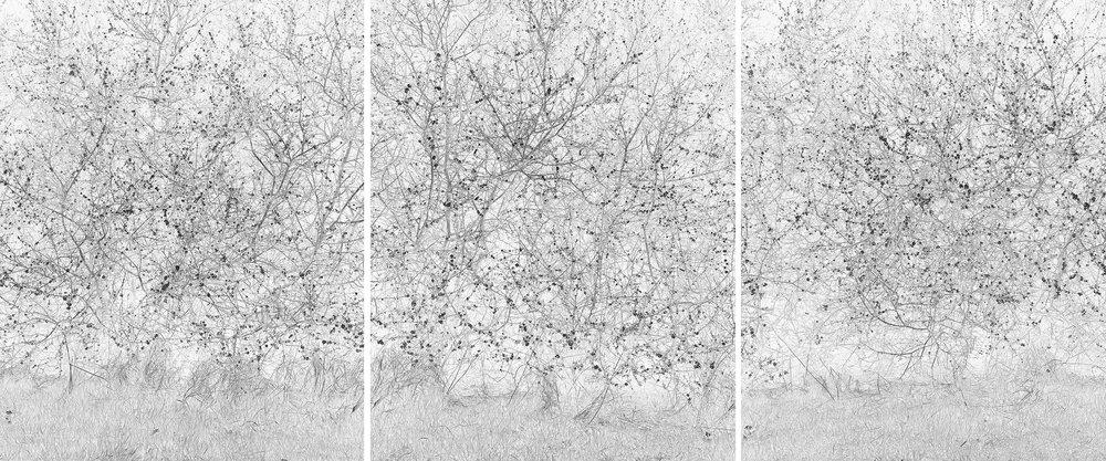 Blackthorn (Triptych), Suffolk, April 2015   Work Statement