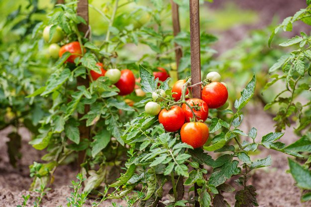 Tips-for-Growing-Tomatoes-Featured.jpg