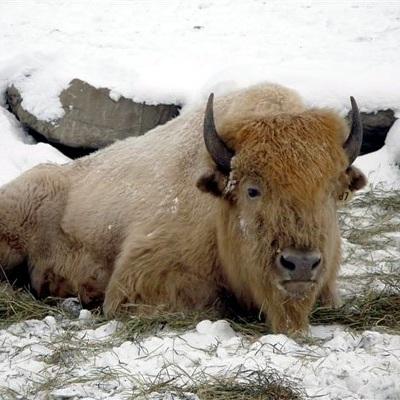 Buffalo+in+Blizzard.jpg