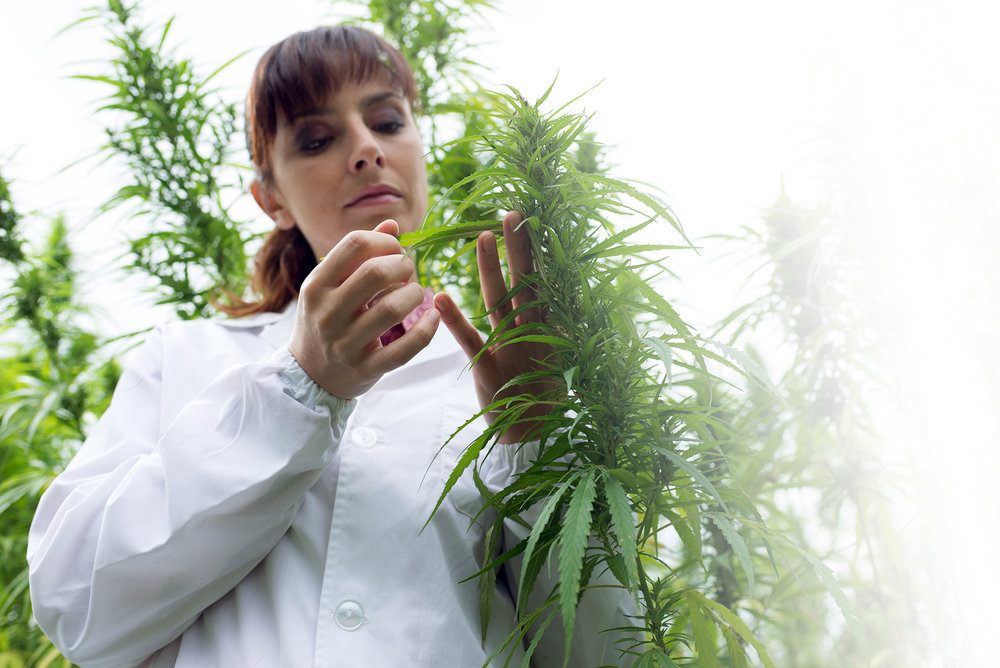 scientist-checking-hemp-flowers-PSS7R6U.jpg