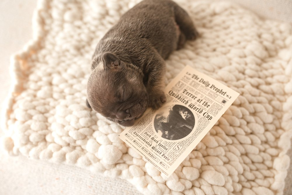 Pricing - All puppies start at $3500 for limited AKC registration with full AKC registration available on some puppies.