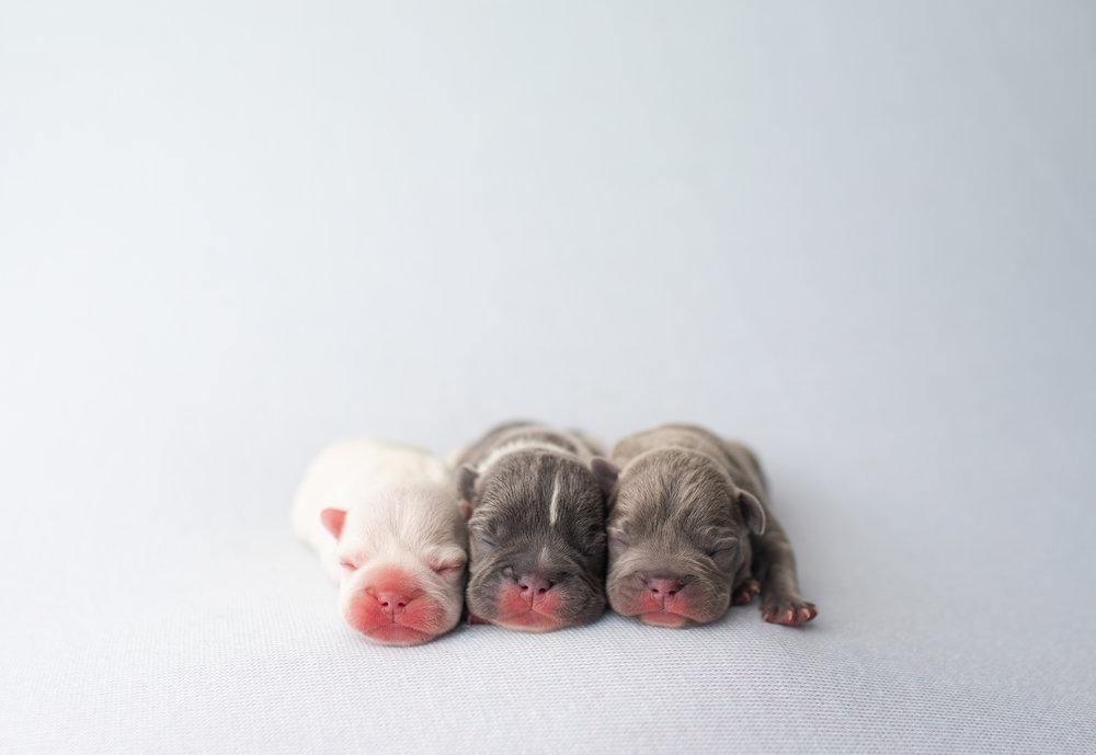 Deposits and Payment options - We require a 20-25% non-refundable deposit on all puppies for reservation. We accept wire transfer or cash paid in full at time of pick-up.