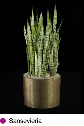 sansevieria.png