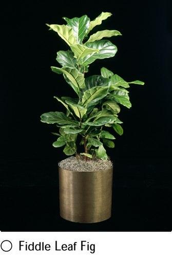 fiddle-leaf-fig.png