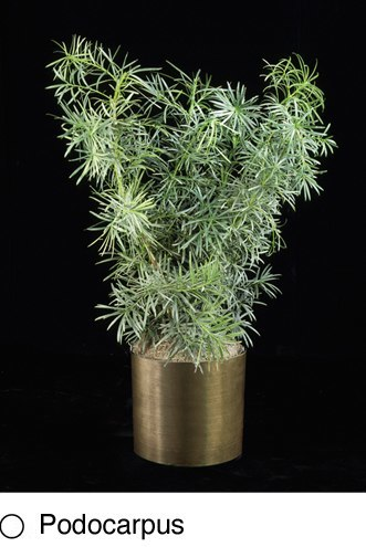 podocarpus.png