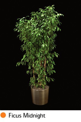 ficus-midnight.png