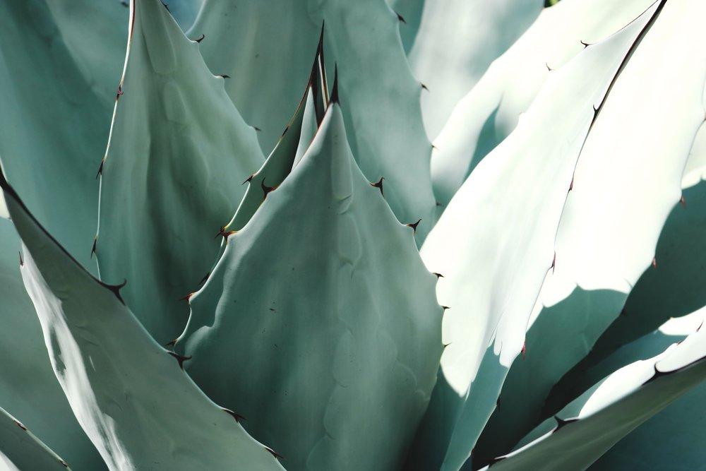 agave-aloe-cacti-1382394.jpg