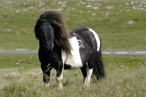 shetland-pony-roadside-large.jpg