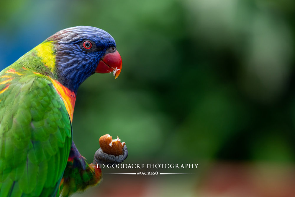 Lorikeet-EG-website.jpg