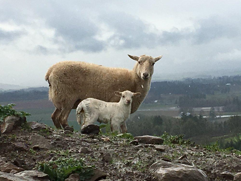 Mary 1 and lamb 2 11_22_2016.JPG