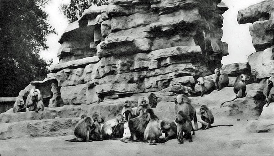 Monkey hill baboons.jpg
