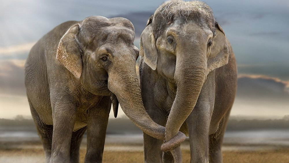 ASIAN ELEPHANTS - CONTACT.jpg