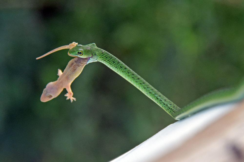 green-snake.jpg