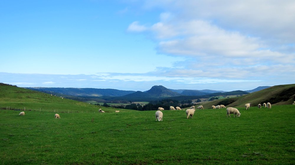 Sheep grazing in the Catlins.