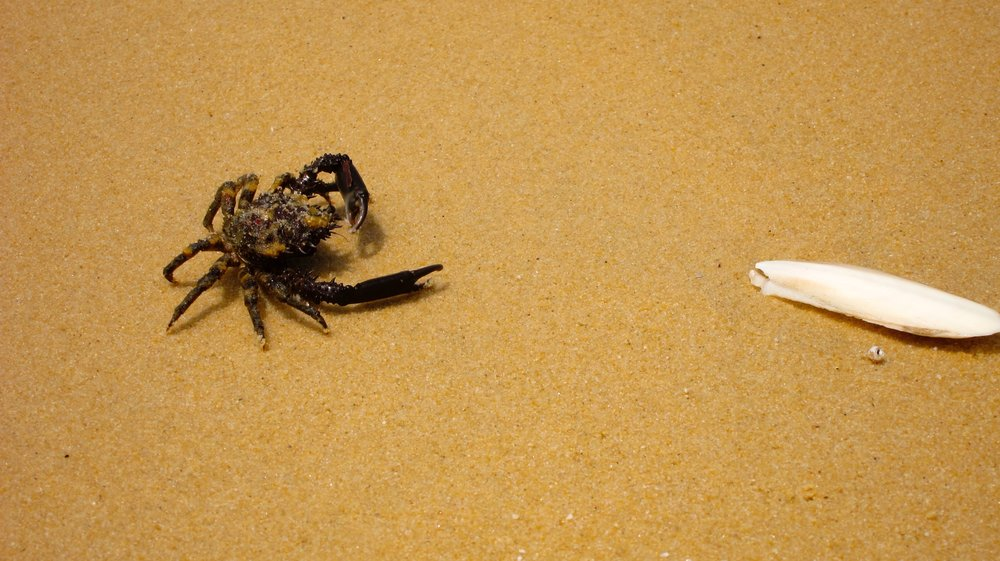 This crab needs to learn to chill out from his sand crab cousins.