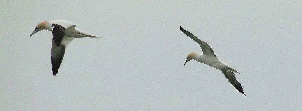 Northern Gannets in flight over The Eastern Shore of Virginia.