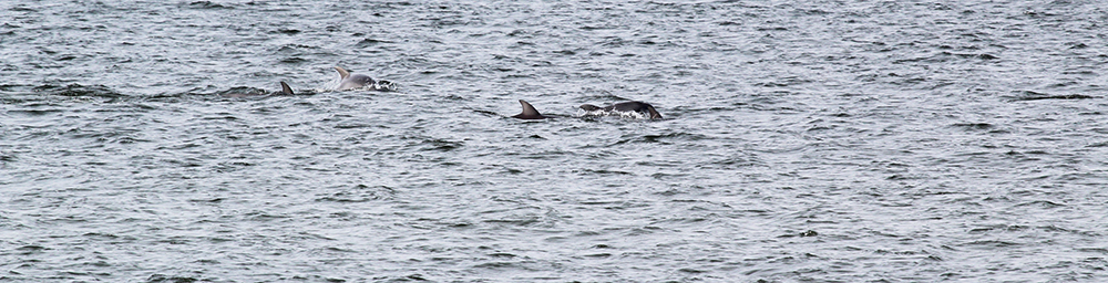 Dolphins Play off the Coast of Cape Charles Beach.
